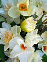 daffodilsdetail2