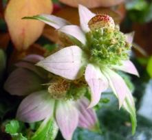 Ephratafairfoliagemonarda