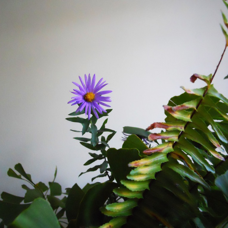 Native Aster